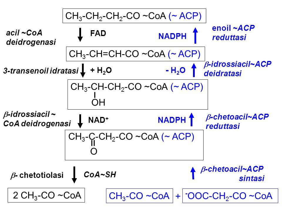 CH 3 -CH 2 -CH 2 -CO ~CoA (~ ACP) CH 3 -CH=CH-CO ~CoA (~ ACP) CH 3 -CH-CH 2 -CO ~CoA (~ ACP) I OH 2 CH 3 -CO ~CoA - OOC-CH 2 -CO ~CoA acil ~CoA deidro