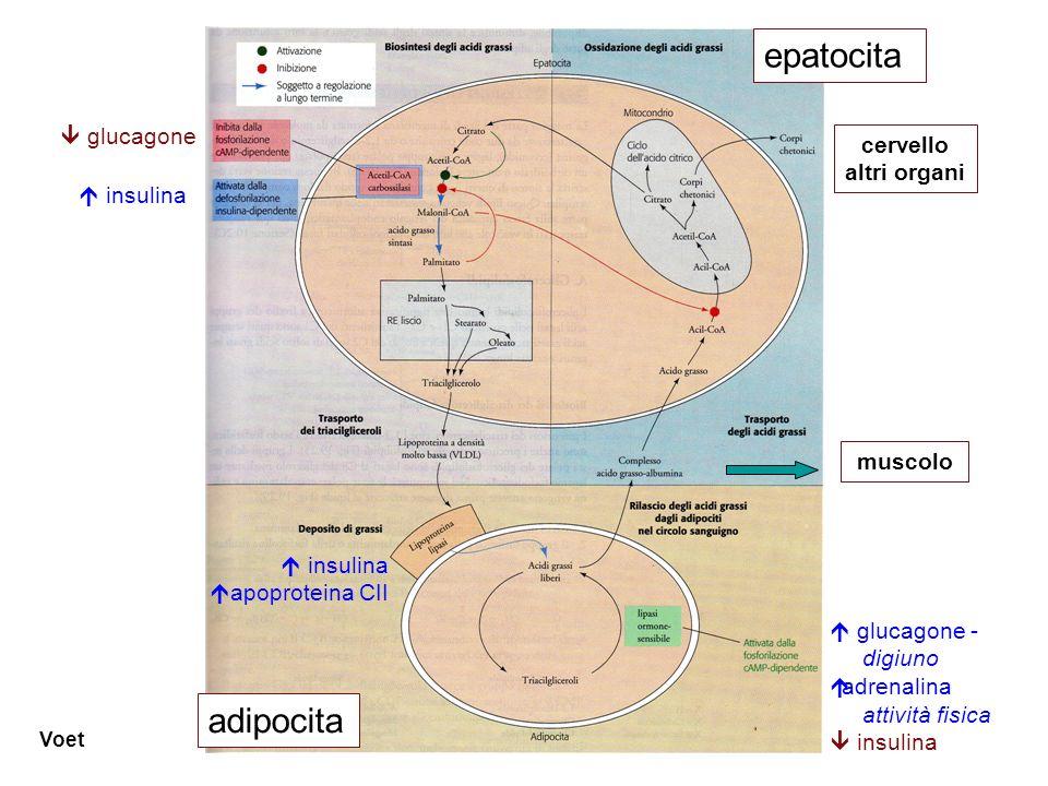 Voet  glucagone - digiuno  adrenalina attività fisica  insulina  insulina  apoproteina CII muscolo  glucagone  insulina epatocita adipocita cer