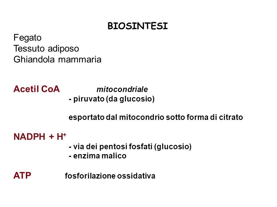 BIOSINTESI Fegato Tessuto adiposo Ghiandola mammaria Acetil CoA mitocondriale - piruvato (da glucosio) esportato dal mitocondrio sotto forma di citrat