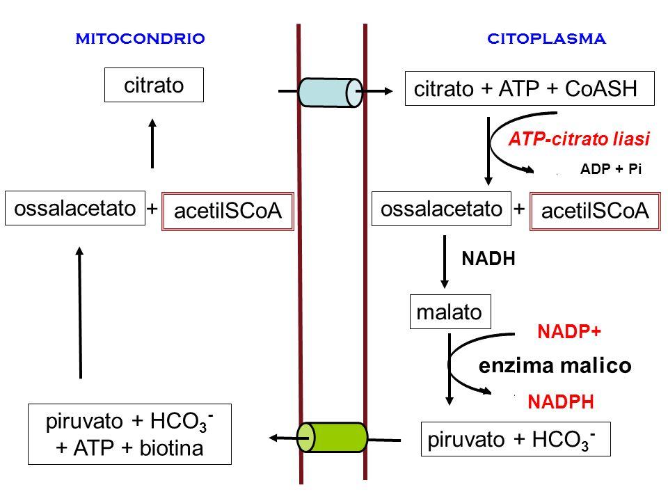 mitocondrio citoplasma citrato piruvato + HCO 3 - + ATP + biotina ossalacetato acetilSCoA + enzima malico citrato + ATP + CoASH ossalacetato piruvato
