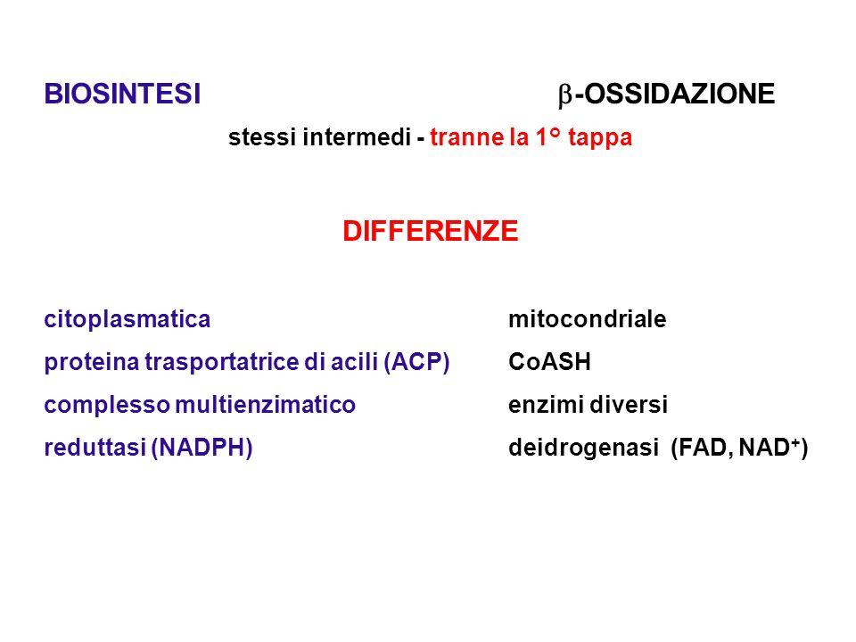 ACP proteina trasportatrice di acili - fosfopanteteina-O-Serina-PROTEINA Acetil CoA Carbossilasi (biotin-Enzima) acetil CoA + HCO 3 – + ATP + biotina  malonilCoA (reazione simile alla 1° tappa della gluconeogenesi) Acido grassi sintasi Complesso multienzimatico ( 7 attività enzimatiche) 1° tappa (acetil + malonil) ACP  acetoacetil ACP + HCO 3 -