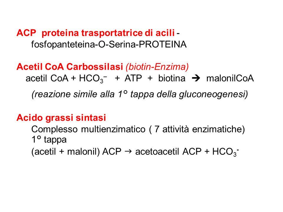 ACP proteina trasportatrice di acili - fosfopanteteina-O-Serina-PROTEINA Acetil CoA Carbossilasi (biotin-Enzima) acetil CoA + HCO 3 – + ATP + biotina