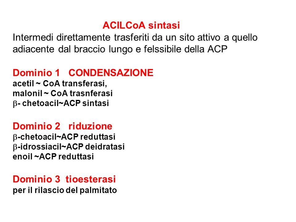ACILCoA sintasi Intermedi direttamente trasferiti da un sito attivo a quello adiacente dal braccio lungo e felssibile della ACP Dominio 1 CONDENSAZION