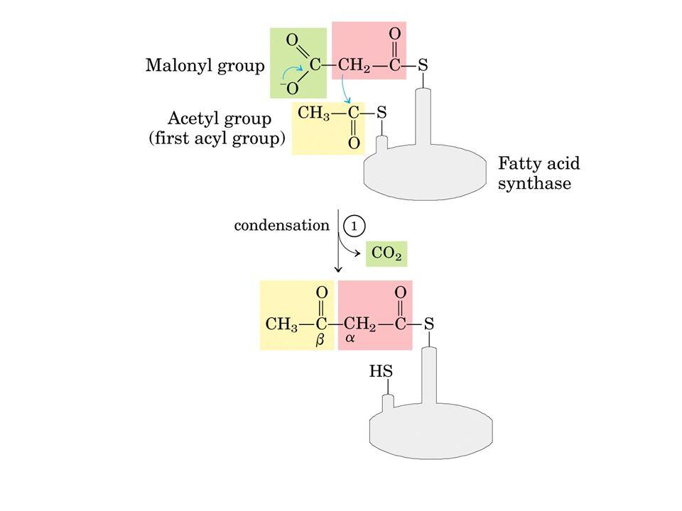 CH 3 -CH 2 -CH 2 -CO ~CoA (~ ACP) CH 3 -CH=CH-CO ~CoA (~ ACP) CH 3 -CH-CH 2 -CO ~CoA (~ ACP) I OH 2 CH 3 -CO ~CoA - OOC-CH 2 -CO ~CoA acil ~CoA deidrogenasi FAD NADPH + H 2 O - H 2 O 3-transenoil idratasi  -idrossiacil ~ CoA deidrogenasi  - chetotiolasi NAD + CoA~SH NADPH enoil ~ACP reduttasi  -idrossiacil~ACP deidratasi  -chetoacil~ACP reduttasi  -chetoacil~ACP sintasi CH 3 -C-CH 2 -CO ~CoA (~ ACP) O II CH 3 -CO ~CoA +