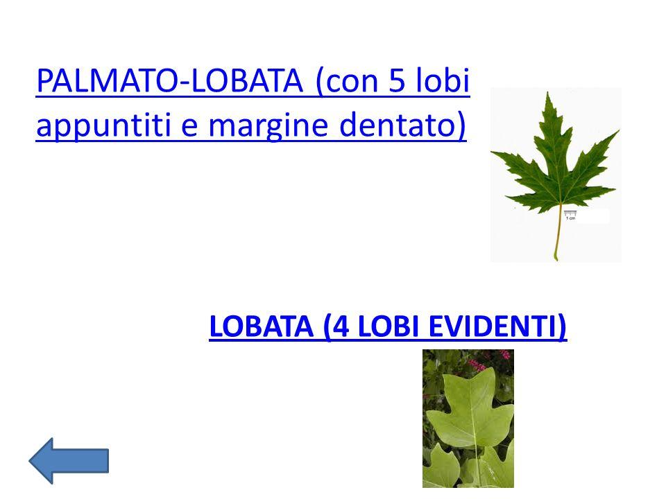 LOBATA (4 LOBI EVIDENTI) PALMATO-LOBATA (con 5 lobi appuntiti e margine dentato)