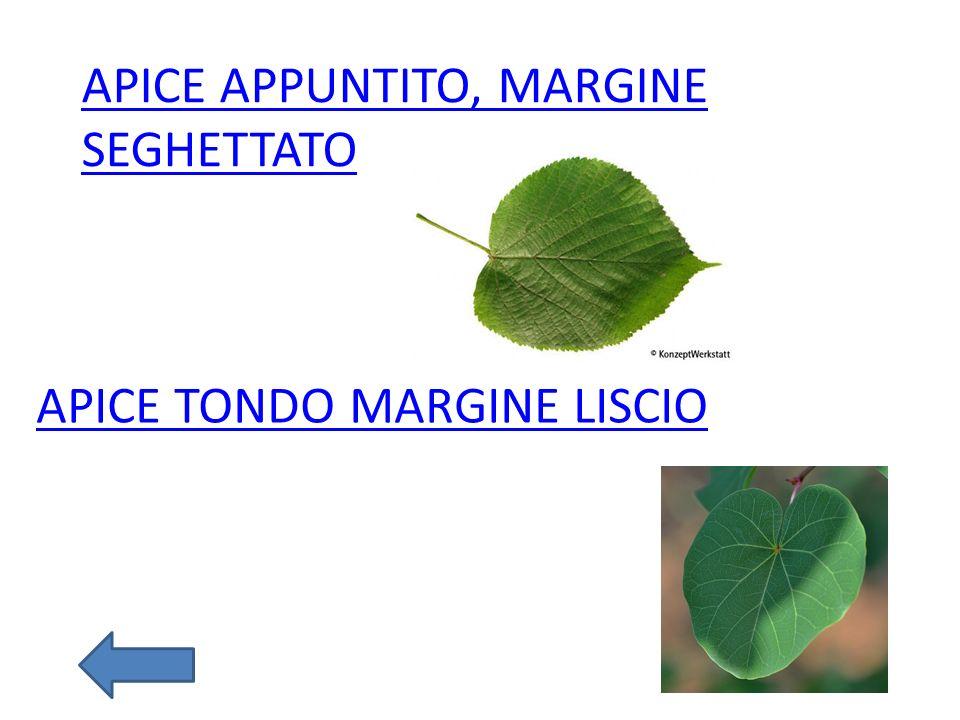APICE TONDO MARGINE LISCIO APICE APPUNTITO, MARGINE SEGHETTATO
