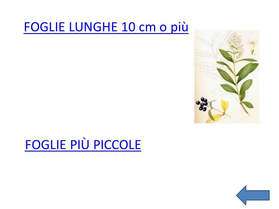 FOGLIE PIÙ PICCOLE FOGLIE LUNGHE 10 cm o più