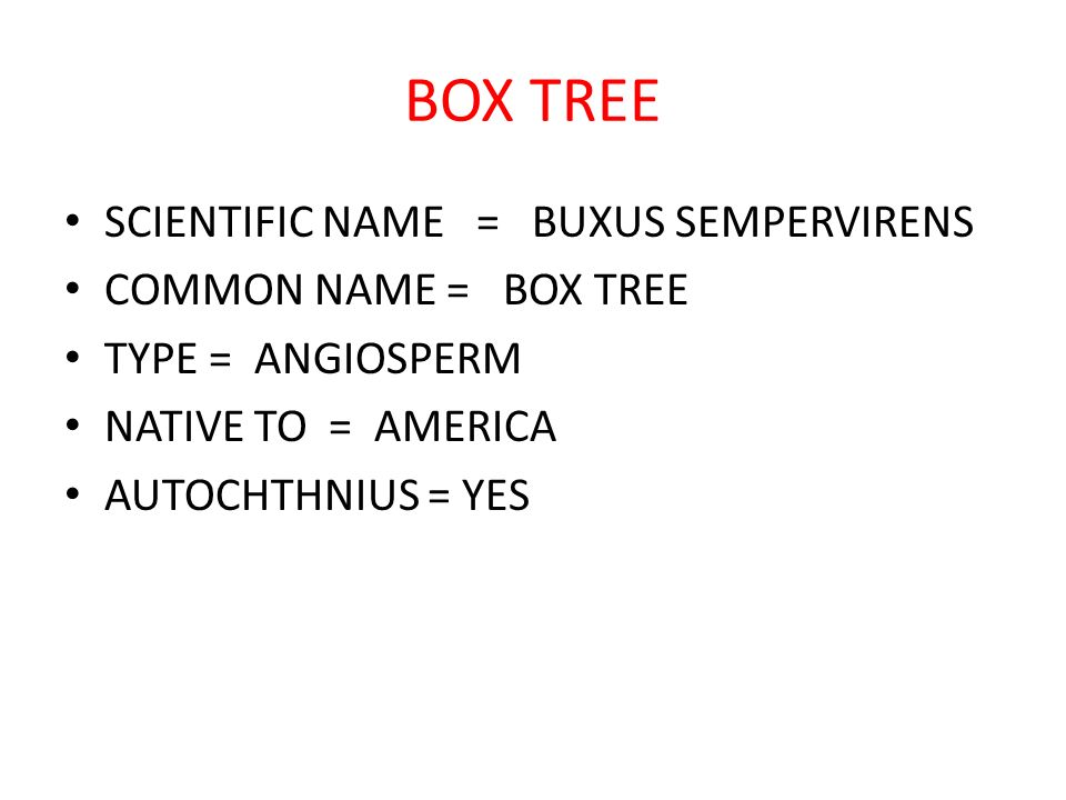 BOX TREE SCIENTIFIC NAME = BUXUS SEMPERVIRENS COMMON NAME = BOX TREE TYPE = ANGIOSPERM NATIVE TO = AMERICA AUTOCHTHNIUS = YES