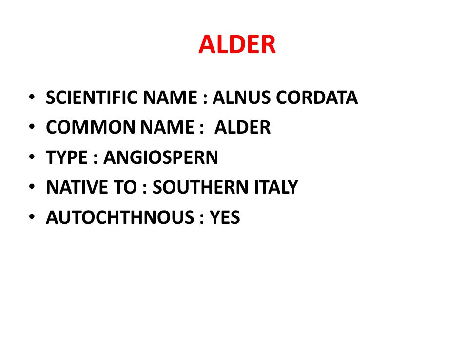 ALDER SCIENTIFIC NAME : ALNUS CORDATA COMMON NAME : ALDER TYPE : ANGIOSPERN NATIVE TO : SOUTHERN ITALY AUTOCHTHNOUS : YES