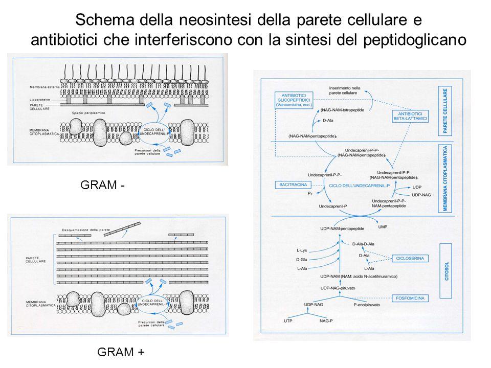 Schema della neosintesi della parete cellulare e antibiotici che interferiscono con la sintesi del peptidoglicano GRAM - GRAM +