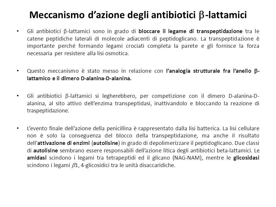 Meccanismo d'azione degli antibiotici  -lattamici Gli antibiotici  -lattamici sono in grado di bloccare il legame di transpeptidazione tra le catene peptidiche laterali di molecole adiacenti di peptidoglicano.