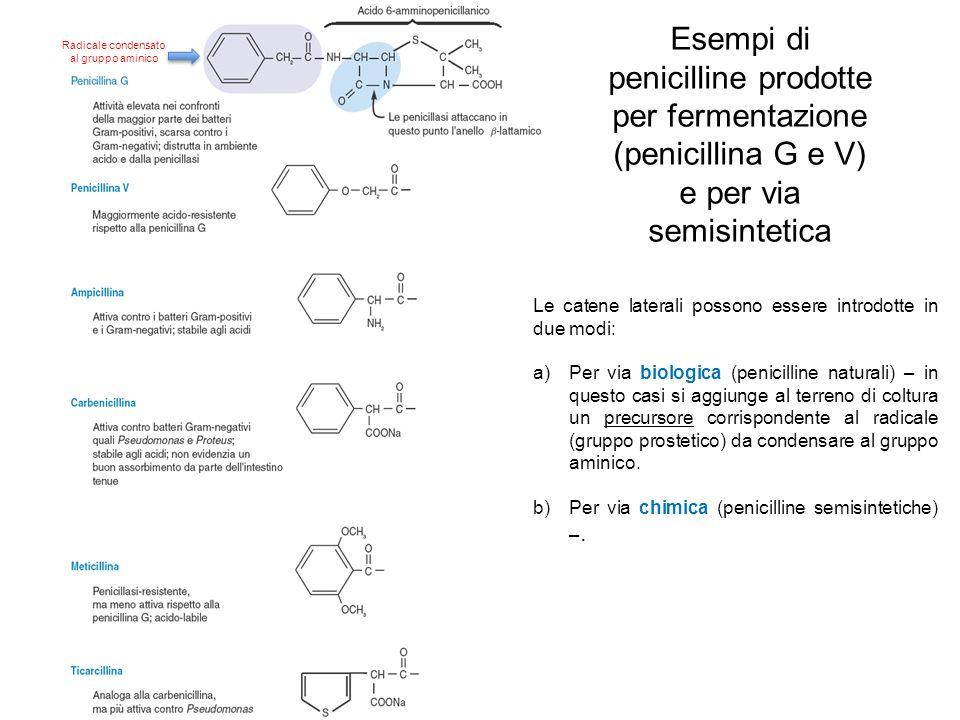 Esempi di penicilline prodotte per fermentazione (penicillina G e V) e per via semisintetica Radicale condensato al gruppo aminico Le catene laterali possono essere introdotte in due modi: a)Per via biologica (penicilline naturali) – in questo casi si aggiunge al terreno di coltura un precursore corrispondente al radicale (gruppo prostetico) da condensare al gruppo aminico.