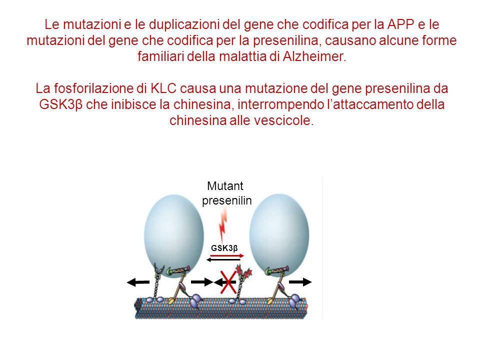 GSK3β Mutant presenilin Le mutazioni e le duplicazioni del gene che codifica per la APP e le mutazioni del gene che codifica per la presenilina, causano alcune forme familiari della malattia di Alzheimer.