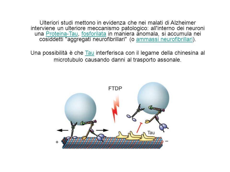 Ulteriori studi mettono in evidenza che nei malati di Alzheimer interviene un ulteriore meccanismo patologico: all interno dei neuroni una Proteina-Tau, fosforilata in maniera anomala, si accumula nei cosiddetti aggregati neurofibrillari (o ammassi neurofibrillari).Proteina-Taufosforilataammassi neurofibrillari Una possibilità è che Tau interferisca con il legame della chinesina al microtubulo causando danni al trasporto assonale.Tau