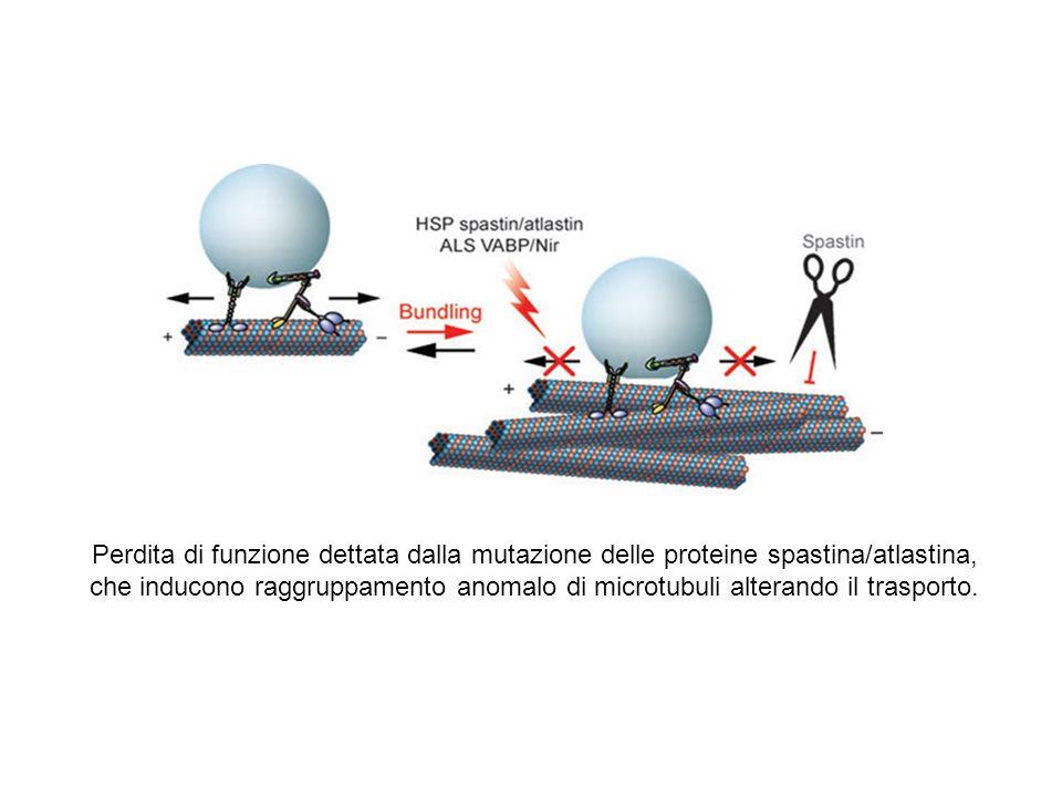 Perdita di funzione dettata dalla mutazione delle proteine spastina/atlastina, che inducono raggruppamento anomalo di microtubuli alterando il traspor