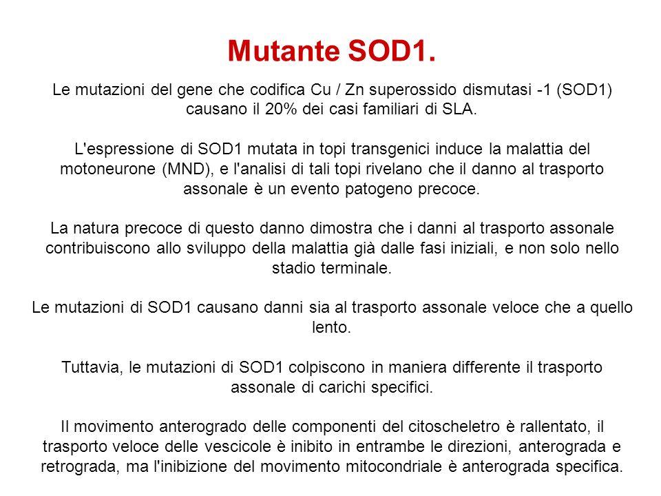 Mutante SOD1. Le mutazioni del gene che codifica Cu / Zn superossido dismutasi -1 (SOD1) causano il 20% dei casi familiari di SLA. L'espressione di SO