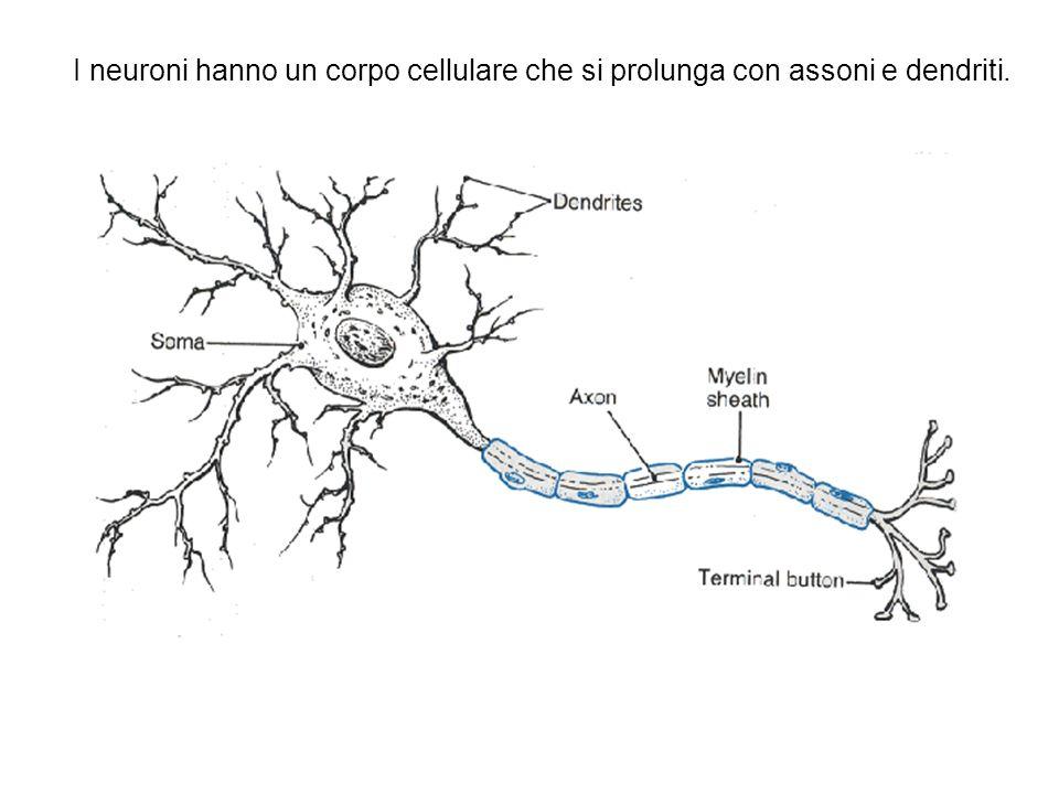 Trasporto assonale Il trasporto intracellulare di proteine  e organelli carichi è un requisito essenziale per tutte le cellule, soprattutto per i neuroni.