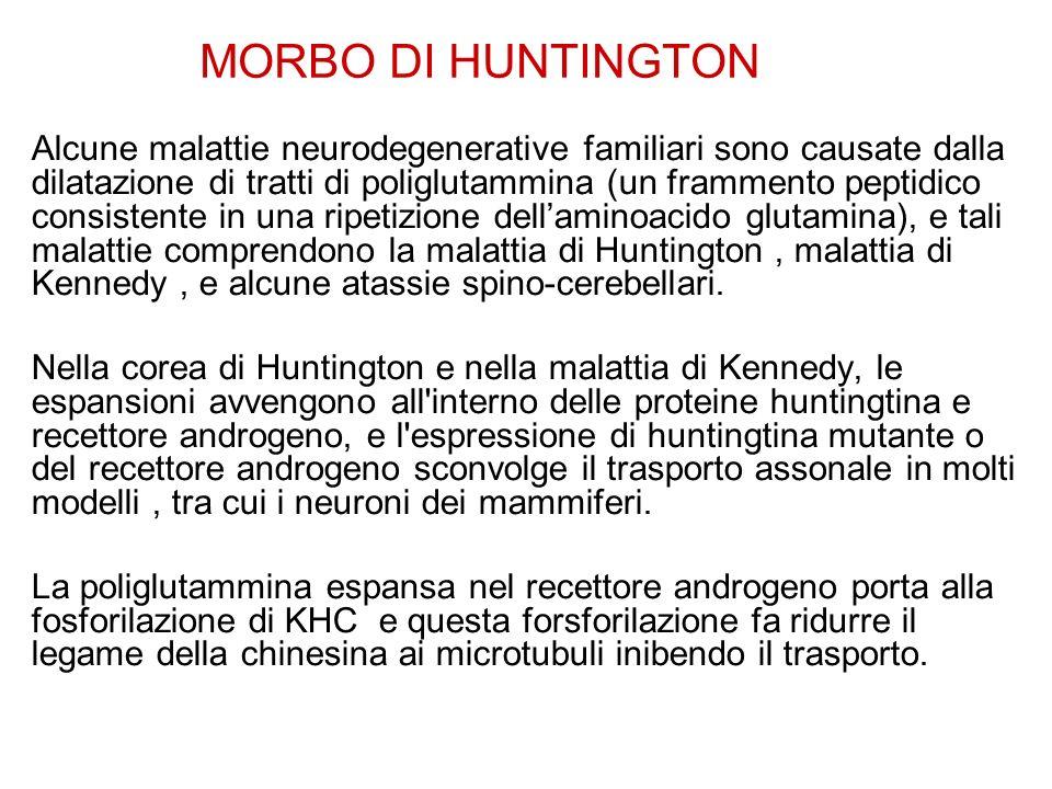 MORBO DI HUNTINGTON Alcune malattie neurodegenerative familiari sono causate dalla dilatazione di tratti di poliglutammina (un frammento peptidico consistente in una ripetizione dell'aminoacido glutamina), e tali malattie comprendono la malattia di Huntington, malattia di Kennedy, e alcune atassie spino-cerebellari.