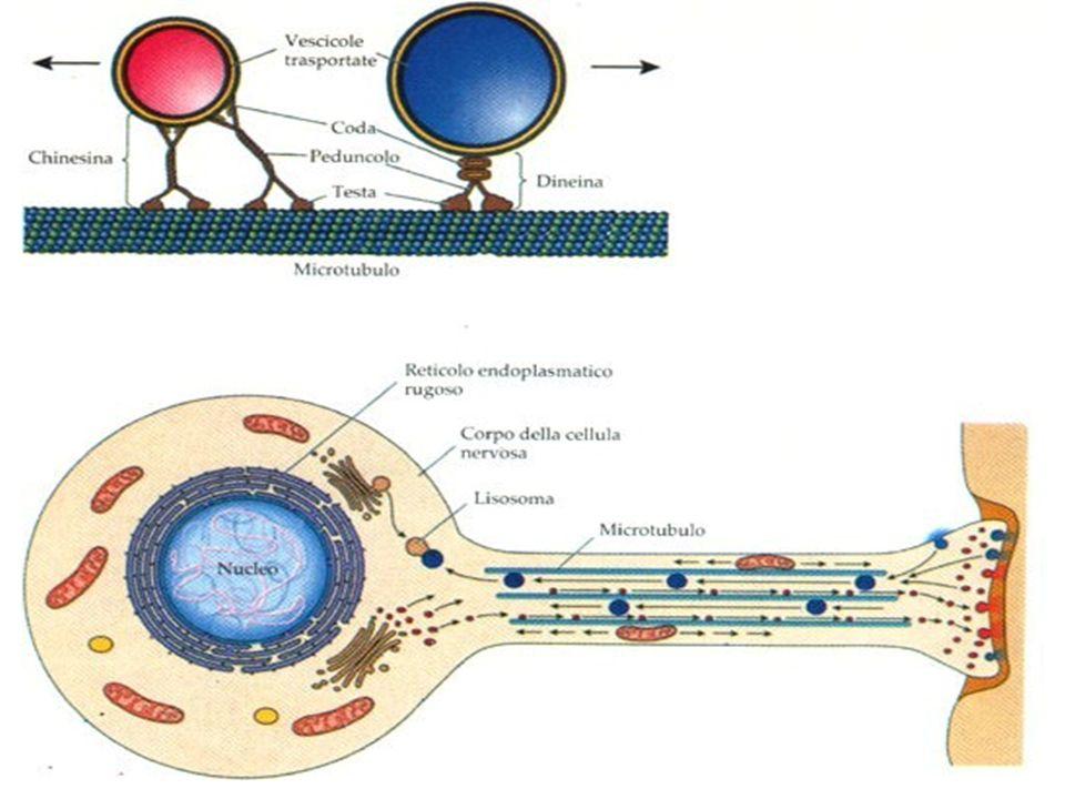 L'iperfosforilazione della proteina Tau può portare ad una destabilizzazzione del trasporto assonale dovuto principalmente alla distruzione dei microtubuli.