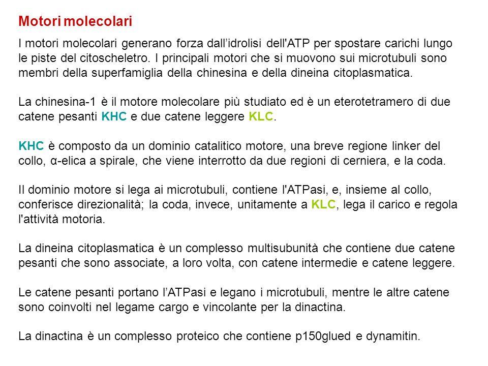 Motori molecolari I motori molecolari generano forza dall'idrolisi dell'ATP per spostare carichi lungo le piste del citoscheletro. I principali motori