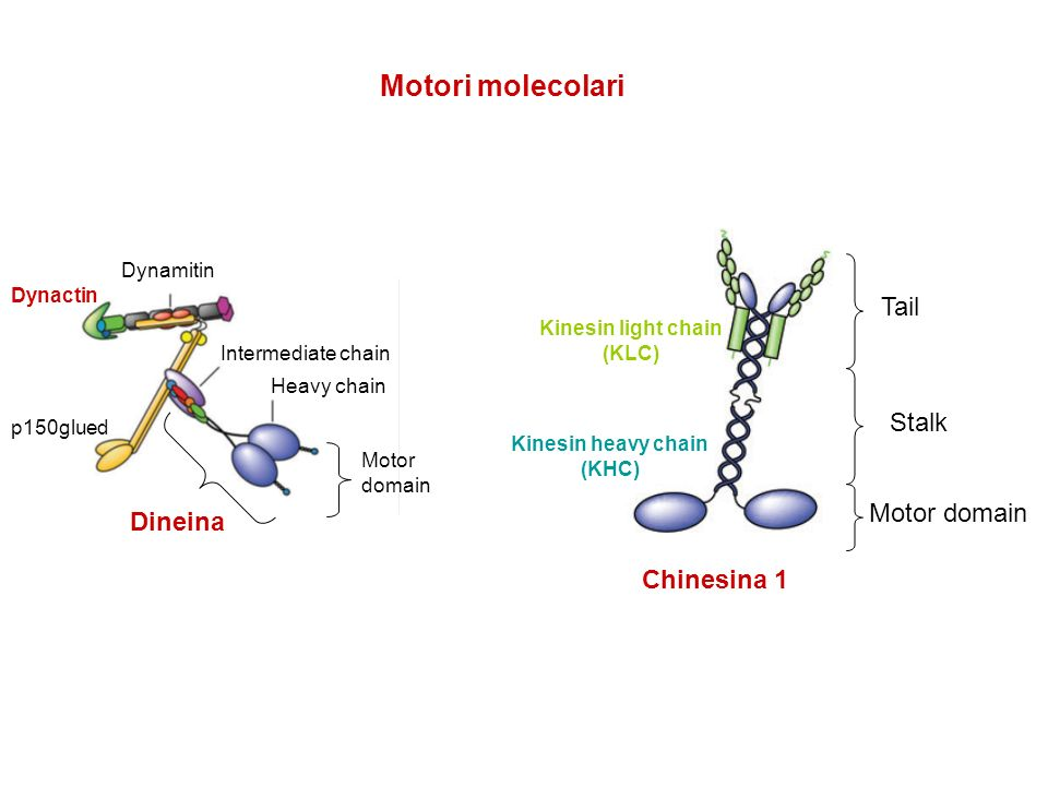 Dynamitin Intermediate chain Heavy chain p150glued Motor domain Kinesin light chain (KLC) Kinesin heavy chain (KHC) Chinesina 1 Tail Stalk Motor domai