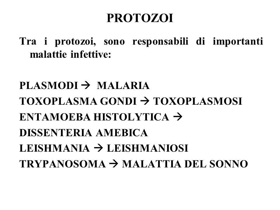 PROTOZOI Tra i protozoi, sono responsabili di importanti malattie infettive: PLASMODI  MALARIA TOXOPLASMA GONDI  TOXOPLASMOSI ENTAMOEBA HISTOLYTICA