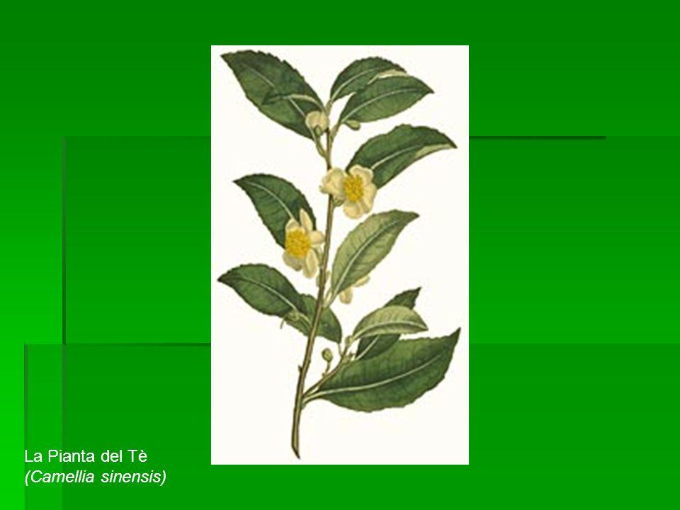 La Pianta del Tè (Camellia sinensis)