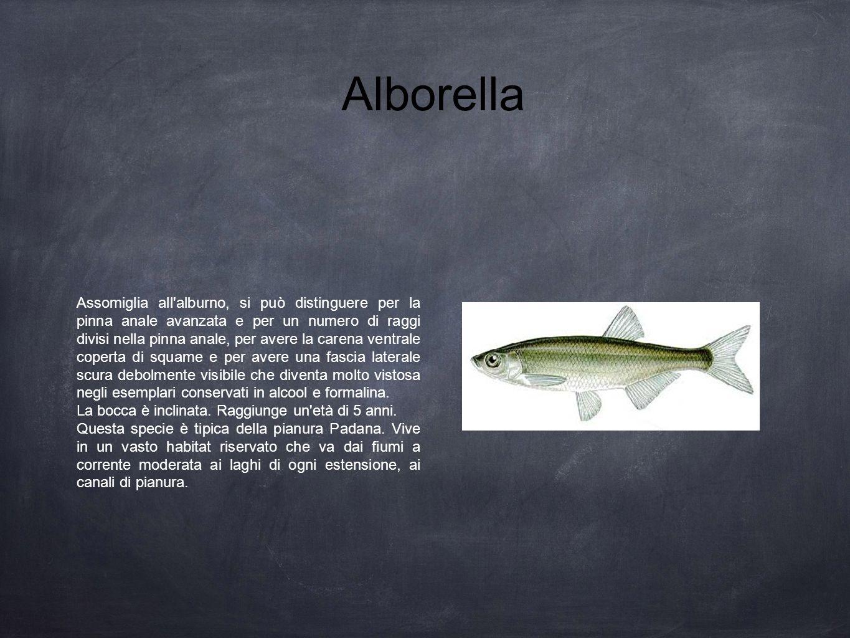 Alborella Assomiglia all'alburno, si può distinguere per la pinna anale avanzata e per un numero di raggi divisi nella pinna anale, per avere la caren