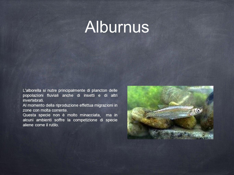 Alburnus L'alborella si nutre principalmente di plancton delle popolazioni fluviali anche di insetti e di altri invertebrati. Al momento della riprodu