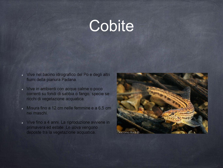 Cobite Vive nel bacino idrografico del Po e degli altri fiumi della pianura Padana. Vive in ambienti con acque calme o poco correnti su fondi di sabbi