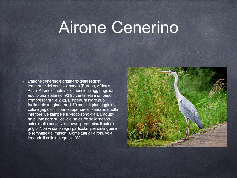 Airone Cenerino L'airone cenerino è originario delle regioni temperate del vecchio mondo (Europa, Africa e Asia). Airone di notevoli dimensioni raggiu