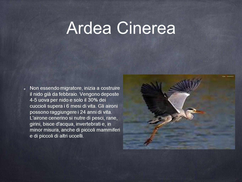 Ardea Cinerea Non essendo migratore, inizia a costruire il nido già da febbraio. Vengono deposte 4-5 uova per nido e solo il 30% dei cuccioli supera i