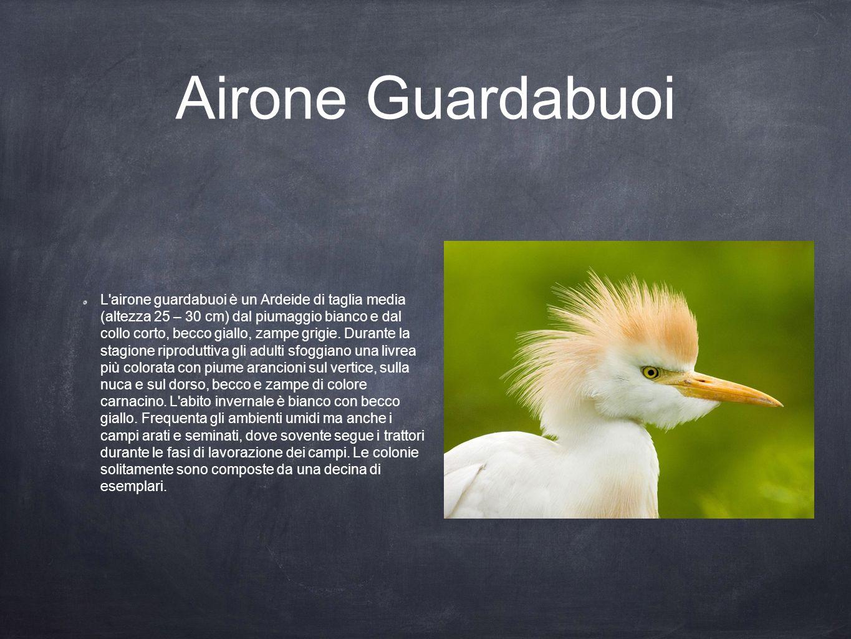 Airone Guardabuoi L'airone guardabuoi è un Ardeide di taglia media (altezza 25 – 30 cm) dal piumaggio bianco e dal collo corto, becco giallo, zampe gr
