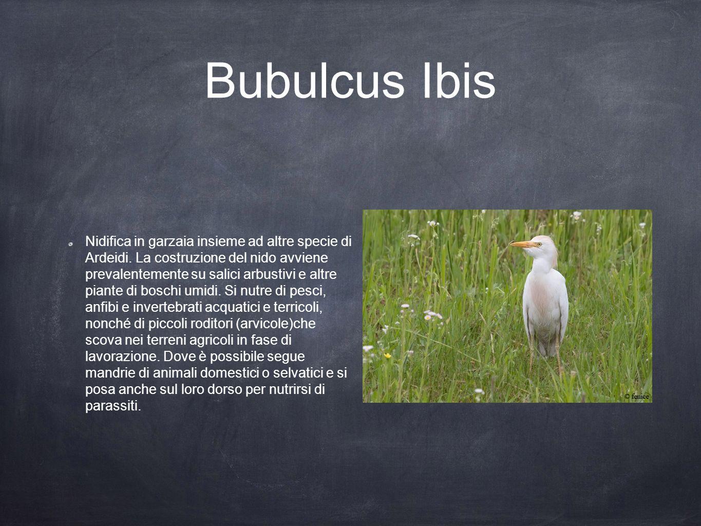 Bubulcus Ibis Nidifica in garzaia insieme ad altre specie di Ardeidi. La costruzione del nido avviene prevalentemente su salici arbustivi e altre pian