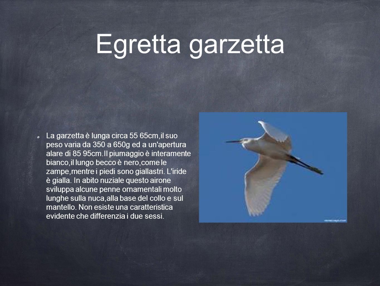Egretta garzetta La garzetta è lunga circa 55 65cm,il suo peso varia da 350 a 650g ed a un'apertura alare di 85 95cm.Il piumaggio è interamente bianco