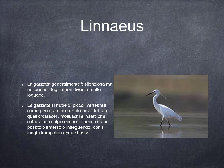 Linnaeus La garzetta generalmente è silenziosa ma nei periodi degli amori diventa molto loquace. La garzetta si nutre di piccoli vertebrati come pesci