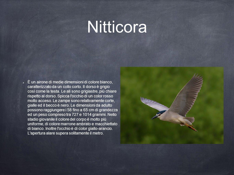 Nitticora È un airone di medie dimensioni di colore bianco, caratterizzato da un collo corto. Il dorso è grigio così come la testa. Le ali sono grigia