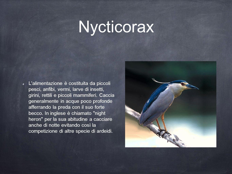 Nycticorax L'alimentazione è costituita da piccoli pesci, anfibi, vermi, larve di insetti, girini, rettili e piccoli mammiferi. Caccia generalmente in