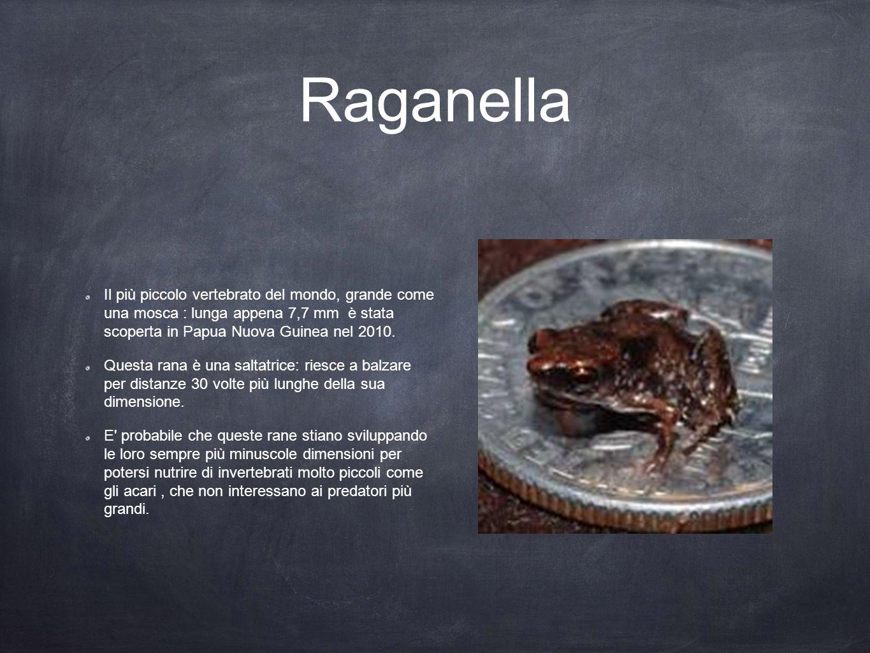 Raganella Il più piccolo vertebrato del mondo, grande come una mosca : lunga appena 7,7 mm è stata scoperta in Papua Nuova Guinea nel 2010. Questa ran