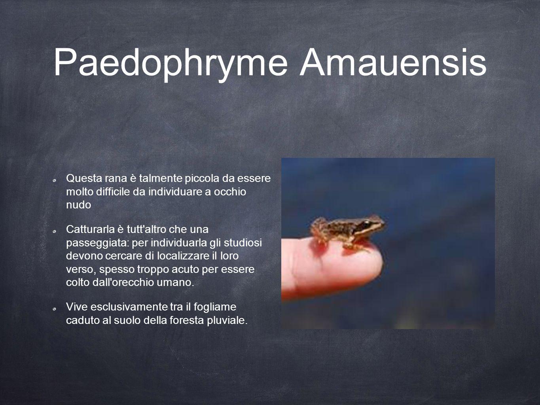 Paedophryme Amauensis Questa rana è talmente piccola da essere molto difficile da individuare a occhio nudo Catturarla è tutt'altro che una passeggiat