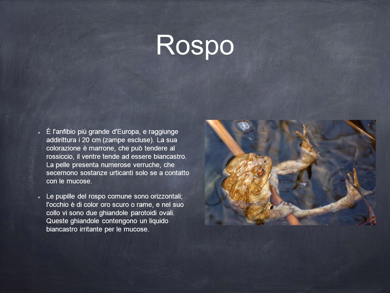 Rospo È l'anfibio più grande d'Europa, e raggiunge addirittura i 20 cm (zampe escluse). La sua colorazione è marrone, che può tendere al rossiccio, il