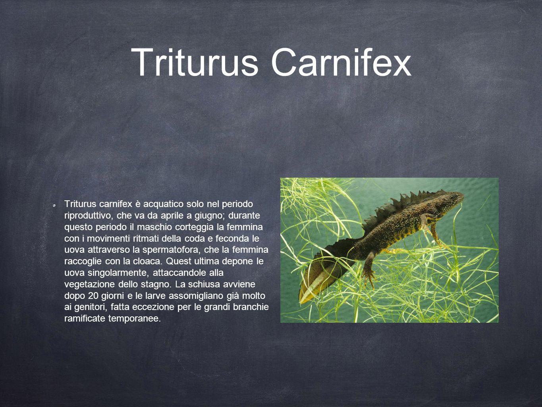 Triturus Carnifex Triturus carnifex è acquatico solo nel periodo riproduttivo, che va da aprile a giugno; durante questo periodo il maschio corteggia