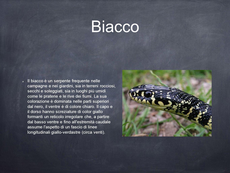 Biacco Il biacco è un serpente frequente nelle campagne e nei giardini, sia in terreni rocciosi, secchi e soleggiati, sia in luoghi più umidi come le