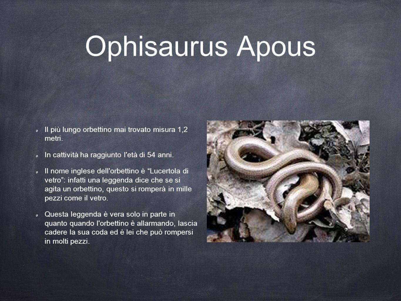 """Ophisaurus Apous Il più lungo orbettino mai trovato misura 1,2 metri. In cattività ha raggiunto l'età di 54 anni. Il nome inglese dell'orbettino è """"Lu"""