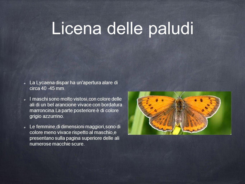 Licena delle paludi La Lycaena dispar ha un'apertura alare di circa 40 -45 mm. I maschi sono molto vistosi,con colore delle ali di un bel arancione vi