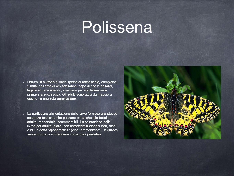 Polissena I bruchi si nutrono di varie specie di aristolochie, compiono 5 mute nell'arco di 4/5 settimane, dopo di che le crisalidi, legate ad un sost