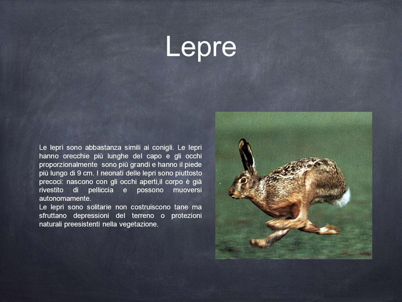 Lepre Le lepri sono abbastanza simili ai conigli. Le lepri hanno orecchie più lunghe del capo e gli occhi proporzionalmente sono più grandi e hanno il