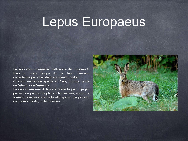 Lepus Europaeus Le lepri sono mammiferi dell'ordine dei Lagomorfi. Fino a poco tempo fa le lepri vennero considerate,per i loro denti sporgenti, rodit