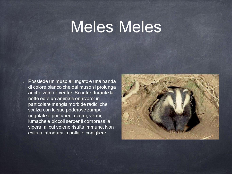 Meles Possiede un muso allungato e una banda di colore bianco che dal muso si prolunga anche verso il ventre. Si nutre durante la notte ed è un animal