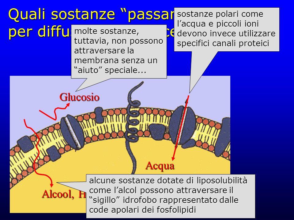"""Quali sostanze """"passano"""" per diffusione semplice? Citoplasma Alcool, H 2 O Glucosio Acqua sostanze polari come l'acqua e piccoli ioni devono invece ut"""